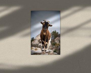 La chèvre 2