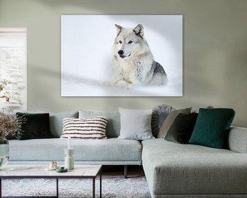 resting in snow... Gray Wolf *Canis lupus* van wunderbare Erde
