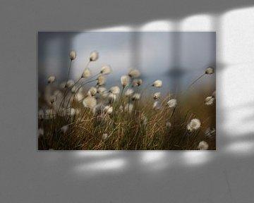Wollgras von Jana Behr