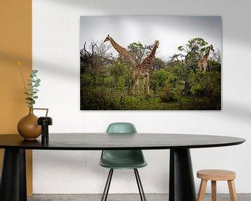 Giraffen in Südafrika von Marcel Alsemgeest