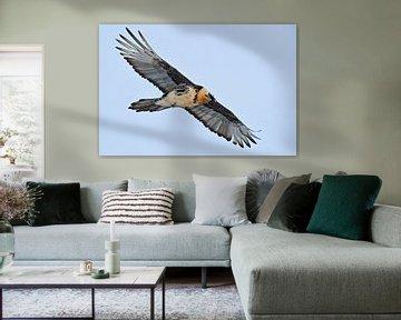 Bearded Vulture *Gypaetus barbatus* van wunderbare Erde