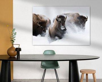 American Bisons *Bison bison* running through deep powder snow van wunderbare Erde
