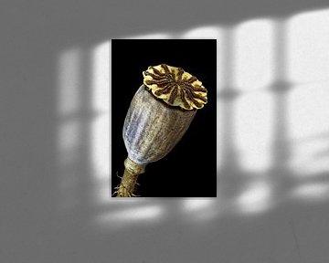 Samenschachtel von Rough Poppy, Mohnargemon auf schwarzem Hintergrund von Christophe Fruyt