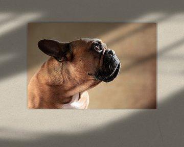 French Bulldog van Jana Behr