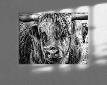 Schotse Hooglander van Jessica Berendsen