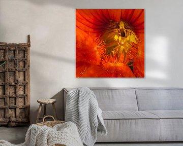 detail van een oranje Oostindische kers von arjan doornbos