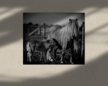 Ponies, moeder met veulen in zwart-wit