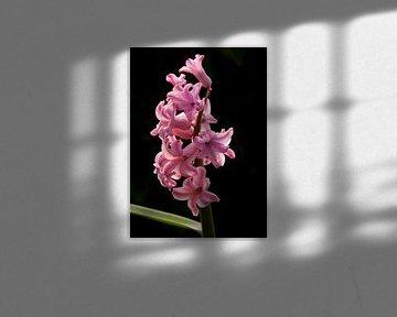 Roze hyacint met zwarte achtergrond