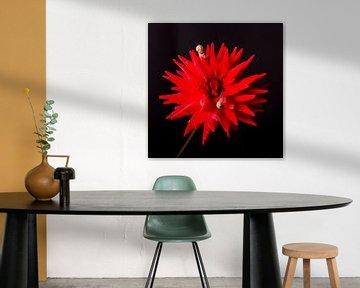 Nature morte des fleurs, Dahlia, Photographie en studio sur Coby Vriens