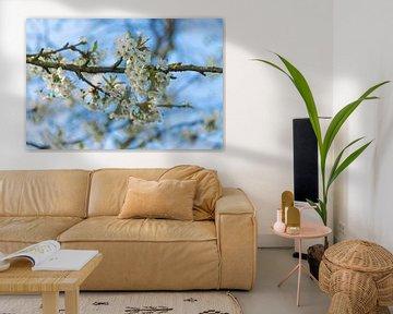 Fleur de cerisier / Cherry Blossom sur Coby Vriens