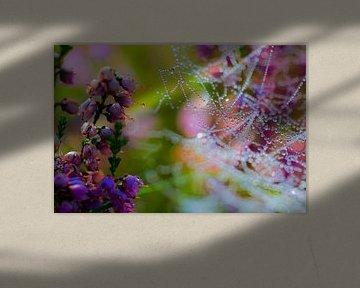 Spinnennetz mit Tau auf blühender Heidekrautanlage.