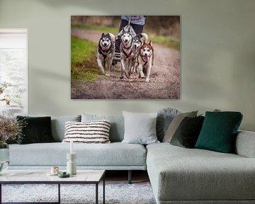 Siberian Husky sur Hamperium Photography