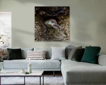young begging for food... Green Woodpecker *Picus viridis* van wunderbare Erde