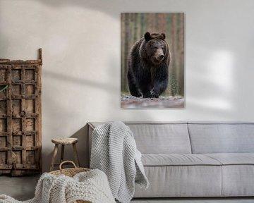 kritische blikken... Europese bruine beer *Ursus arctos* van wunderbare Erde