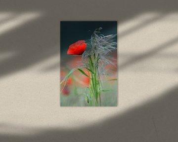 Blumenstrauss im Feld... Klatschmohn *Papaver rhoeas* von wunderbare Erde