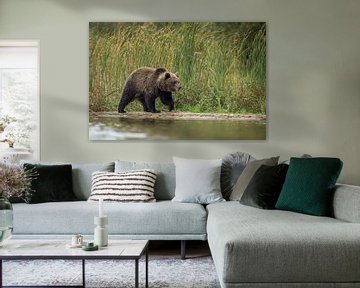 Europäischer Braunbär *Ursus arctos* von wunderbare Erde