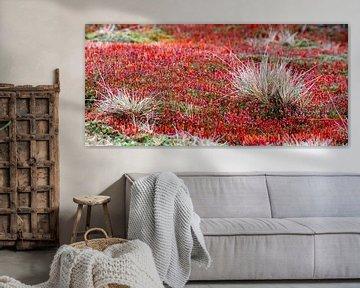 Grobes Frauenhaar (Polytrichum piliferum) von Marcel Pietersen