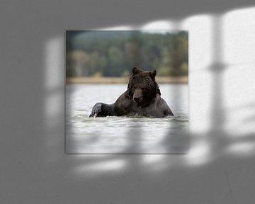 verspielt...  Europäischer Braunbär *Ursus arctos* von wunderbare Erde