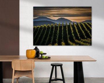 Wijngaard van Frans Scherpenisse