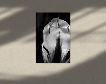Gestreepte tulp in zwartwit van de buurtfotograaf Leontien