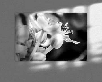Druppeltjes in het licht op de bloem in zwartwit von de buurtfotograaf Leontien