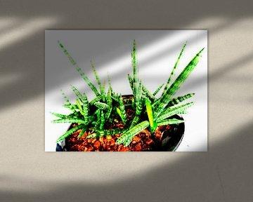 Kamerplant: Sansevieria Cylindrica Shabiki 5 van MoArt (Maurice Heuts)