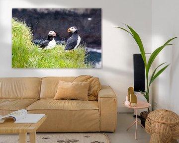 Papegaaiduikers in de regen op Papey eiland in IJsland
