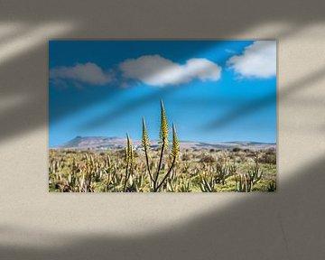 De plant Aloe Vera wordt in de buitenlucht gekweekt op Lanzarote von Harrie Muis