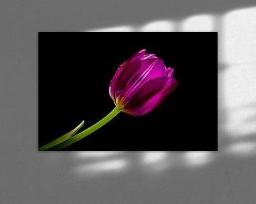 Tulpe von Kees Korbee