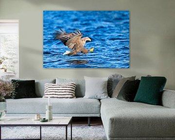 Zeearend (Haliaeetus albicilla) jaagt over het water met uitgestoken klauwen van Sjoerd van der Wal