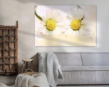 zwei Gänseblümchen von Jana Behr