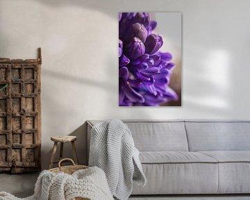 Hyacint  paars sur chantal vogelpoel