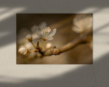 Lente Bloesem von Mario Brussé Fotografie