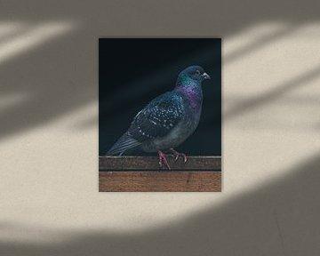 Farbige Taube auf einem Holzbalken von Ronald Huijzer