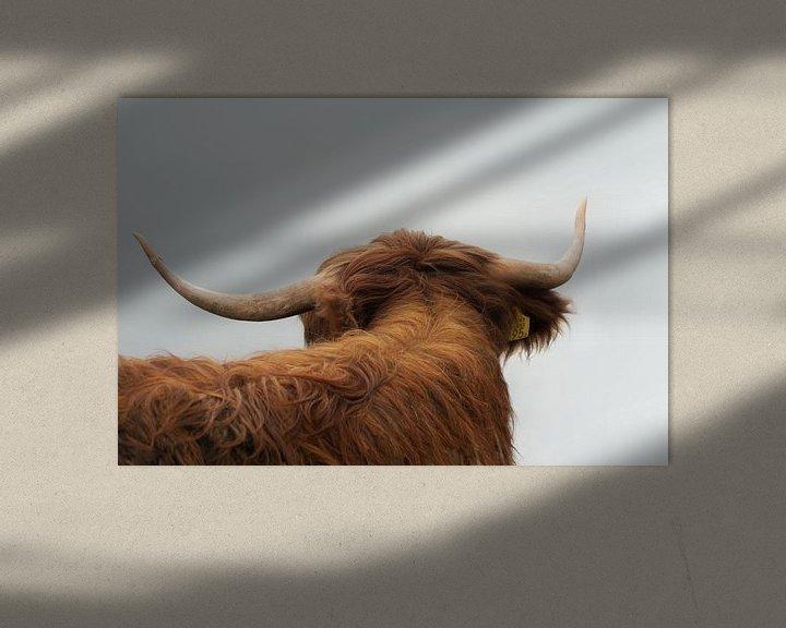 Sfeerimpressie: Schotse Hooglander van Karin in't Hout