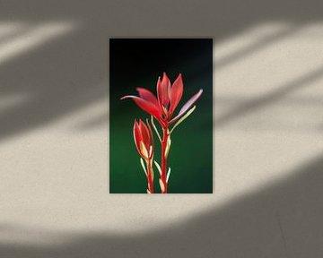 Rood plantje tegen een donkergroene achtergrond von Dennis van de Water
