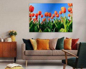 Oranje tulpen tegen een blauw lucht von Dennis van de Water