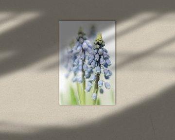 Grape Hyacinth VI (bloem, blauwe druifjes) von Bob Daalder