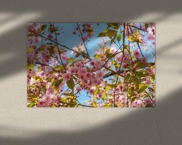 Kirschblüten von Steffen Gierok
