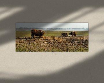 Bijvoeren Schotse Hooglandrunderen in natuurgebied van Ruud Morijn