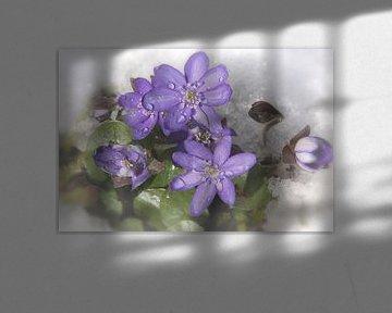 Leberblümchen  von Christine Nöhmeier