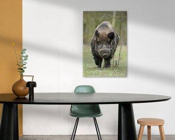Wildschwein * Sus scrofa *,  kräftiger Keiler sur wunderbare Erde