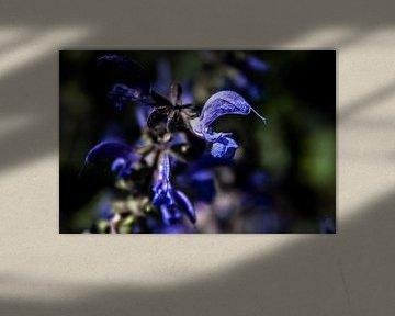 Blaue Blüte von Norbert Sülzner