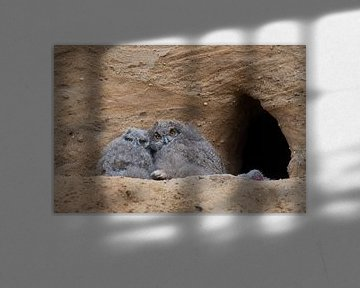 Uhu * Bubo bubo *,  Nestlinge an der Bruthöhle, wildlife von wunderbare Erde