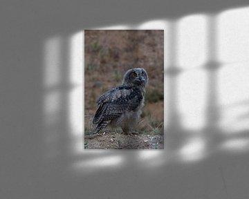 Uhu * Bubo bubo *,  Jungvogel, wildlife von wunderbare Erde