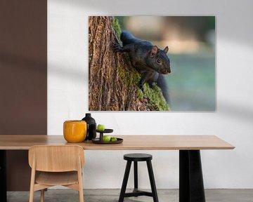 Eekhoorn komt achter boomstam vandaan sur Muriel Polet