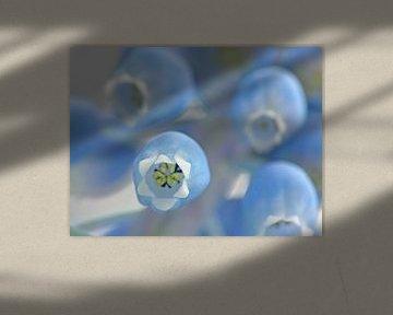 Hellblaue kleine Traubenhyazinthe von Caroline Lichthart