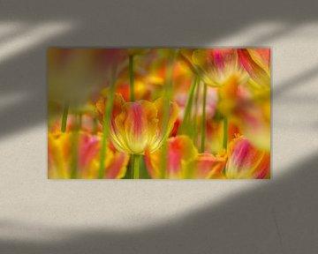 Tulp,Keukenhof