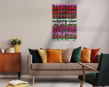 Blühendes Alpenveilchen in Reihen mit verschiedenen Farben von Ben Schonewille
