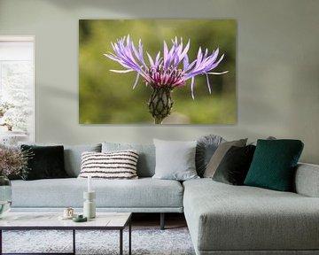 Kornblumenblüte von Erich Werner